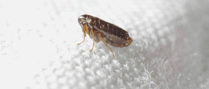 Flea Control Hornsby